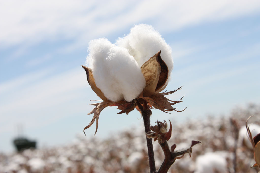 Cotton 2021 Forecast